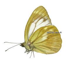 Unmounted Butterfly/Pieridae - Cepora nadina eunama, male, Taiwan, A-