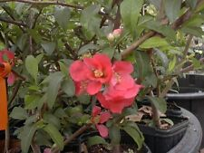 Quince Chaenomeles Red Flowering Plant Older Cold Hardy Chaenomeles Japonica