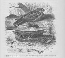 Rothals-Ziegenmelker Caprimulgus ruficollis Holzstich von 1891 Nachtschwalben