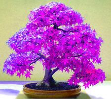20 Japanische Lila Ahorn Baum Samen, Saatgut DIY Garten zur Bonsaizucht geeignet