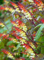 Mina lobata Beautiful fast growing climber! Jungle Queen, Houseplant or outdoor