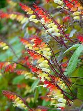 Mina lobata Beautiful fast growing climber! Jungle Queen, Houseplant or outdoor