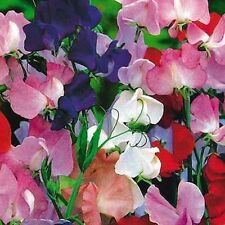 25 COTTAGE GARDEN SWEET PEA SEEDS, HIGHLY SCENTED BLOOM