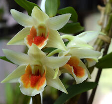 Dendrobium FROSTY DAWN x DAWN MAREE seedling orchid plant in 80mm pot