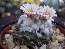 Turbinicarpus schmiedickeanus rare cactus seed 10 SEEDS