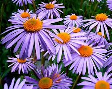 100 PURPLE NEW ENGLAND ASTER Novae Flower Seeds Comb S/H