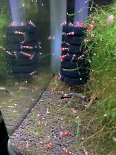 U Will Receive A 10 1/8 Size Of Crs Shrimp.will Ship A Moss For Them To Grab.