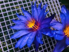 Live Blue Water Lily Rooted Bulb (Nymphaeaceae)