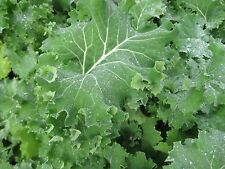 Kale Dwarf Siberian Improved Great Vegetable BULK Wholesale - 30,000 Seeds