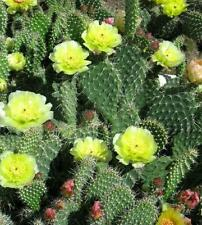 Winter Hardy Prickly Pear Opuntia Cactus LARGE RUFFLED CHARTREUSE COLORED FLOWER