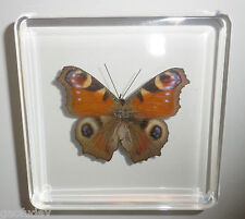 European Peacock Butterfly Inachis io in Clear Block Education Insect Specimen