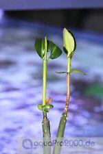 Rote Mangrove - Rhizopora mangle Pflanzen Meeresalge Alge Meerwasser