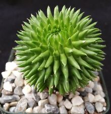 Euphorbia Suzannae Real Nice Cactus  Live Succulent Plant
