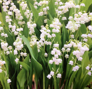 1-20 LILY OF THE VALLEY (CONVALLARIA) ROOTS PERENNIAL GARDEN SPRING SUMMER PLANT