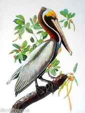 Brown Pelican by Audubon 9 x 12 inch image on Needlepoint Canvas ready to finish