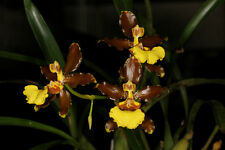 Oncidium oliganthum - flowering sized species orchid