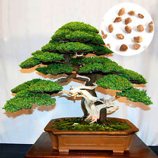 20 Fresh Seeds Beautiful Chinese Juniper Bonsai Tree Juniperus chinensis