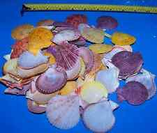 25+ SINGLE PECTIN NOBILUS Wedding Crafts  SEASHELLS SEA SHELLS ITEM # 1105-25