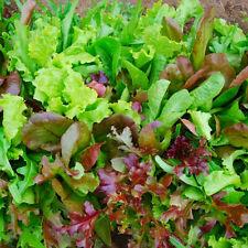LETTUCE Green - Red salad bowl 6 Types 500 Mixed Baby Leaf FREE Bag Rocket Seeds
