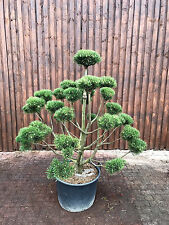 Pinus mugo 'Rostrata' Gartenbonsai, Bergkiefer, Bonsai, Formgehölz, Versand!