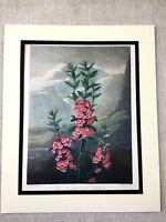 Vintage Botanico Stampa Mountain Laurel Rosa Kalmia Fiore Temple Di Flora Grande