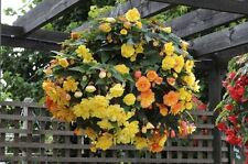 Flower - Begonia - Supercascade F1 Apricot - 10 Pelleted Seeds