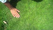 Dormant Zoysia grass handfull of rhizomes/stolones good for 10-15 plugs or more
