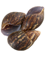 More details for land snail shells - african giant empty shells 5 for £20. ornaments & aquarium