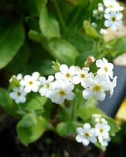 Myosotis alba (White Forget me not) Bare root/rooted cutting marginal pond plant