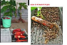 BREADFRUIT root Cuts . 3-4 Inches pics . X 5 LIVE ROOTS -REAL-Artocarpus altilis