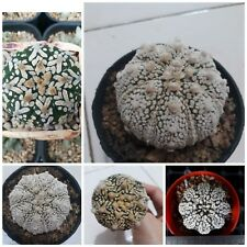 Mix Astrophytum asterias Super KABUTO V Star Shape Cactus succulant 10 SEED