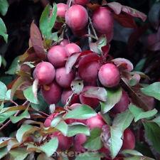 Großfrüchtige sangue PRUGNA 100-125cm Prunus Trailblazer