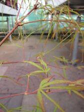 Acer palmatum Koto-no-ito 60-80, japanischer Schlitzahorn, orangegelbe Herbstf.