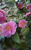 4 Assorted Heirloom Pink White Peppermint Japonica Camellia Cuttings to Root