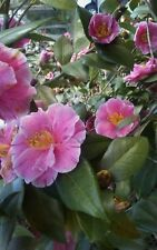 20 Assorted Heirloom Japonica Camellia Cuttings from 5 different plants pink red