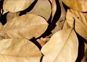 100 Pcs Best QualityDried Jackfruit Leaves Kataha BioFilm OrganicShrimpAquarium