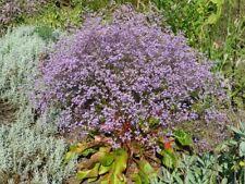 Breitblättriger Strandflieder Limonium latifolium 20 Samen VERSAND FREI !!!