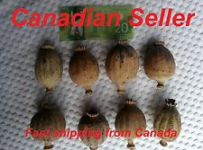 Premium - 10,000 Organic Giganteum Poppy Seeds, Papaver Somniferum, Giant, Huge!