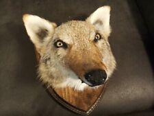 â—� Coyote Taxidermy Wall Mount animal head fur skull deer bobcat fox hunting Odd