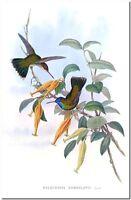 """Vintage Hummingbird Art John Gould CANVAS PRINT~ Hylocharis Humboldtii  36x24"""""""