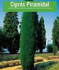 100 Graines Fraîches de Cyprès Pyramide