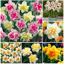 400 Double Narcissus Duo Bulbs Pastel Scented Daffodil Spring Plant Flower Mixed