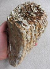 Fossil Woolly Mammoth (Mammuthus primigenius) Molar (12.8 cm) - North Sea