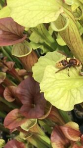 Sarracenia Huge Pack, 20 Plants Plus Free Seedlings And Free Uk Postage