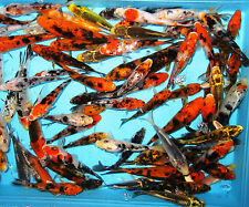 "8- Lot Assorted 5""-6"" Mix Fin Live Koi Fish For Koi Pond Garden PKF"