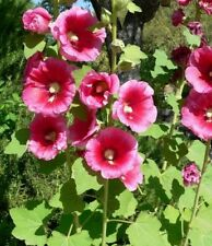 100 Giant Hollyhock seeds  - Alcea Rosea