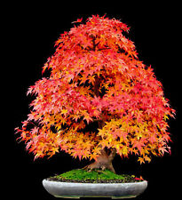 Bonsai Seeds - Sugar Maple Acer Saccharun seeds