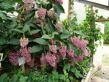 Medinilla myriantha - 50 seeds harvested December 2016, Malaysian grapes