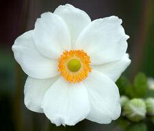 ANEMONE MADONNA Anemone Sylvestris - 20 Seeds