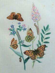 BUTTERFLIES, High Brown Fritillary Butterfly, original antique print 1841